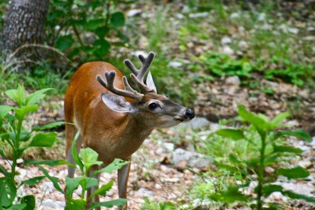 deer eating plants in the garden