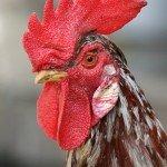 rooster weather vanes